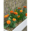 Fake It! - Mauritius marigold and lavender in white window box