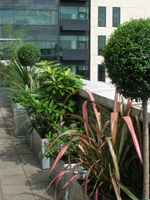Urban evergreens (cordyline, lollipop privet, aucuba)