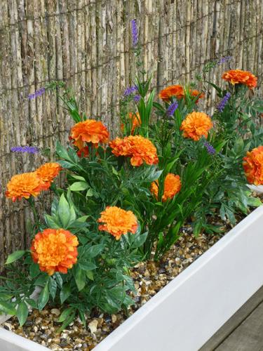 Mauritius marigold and lavender in white window box